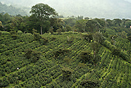 Coffee cropscaffeine, Coffea canephora, cultivated, flavor, chaoua, kahve, robusta, Rubiaceae, Coffea arabica, coffee cultivation, process, flavor, aroma, Commodity, fresh produce, Coffee futures contracts, industry, economy,