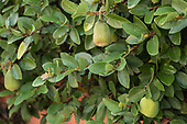 Fig Vine