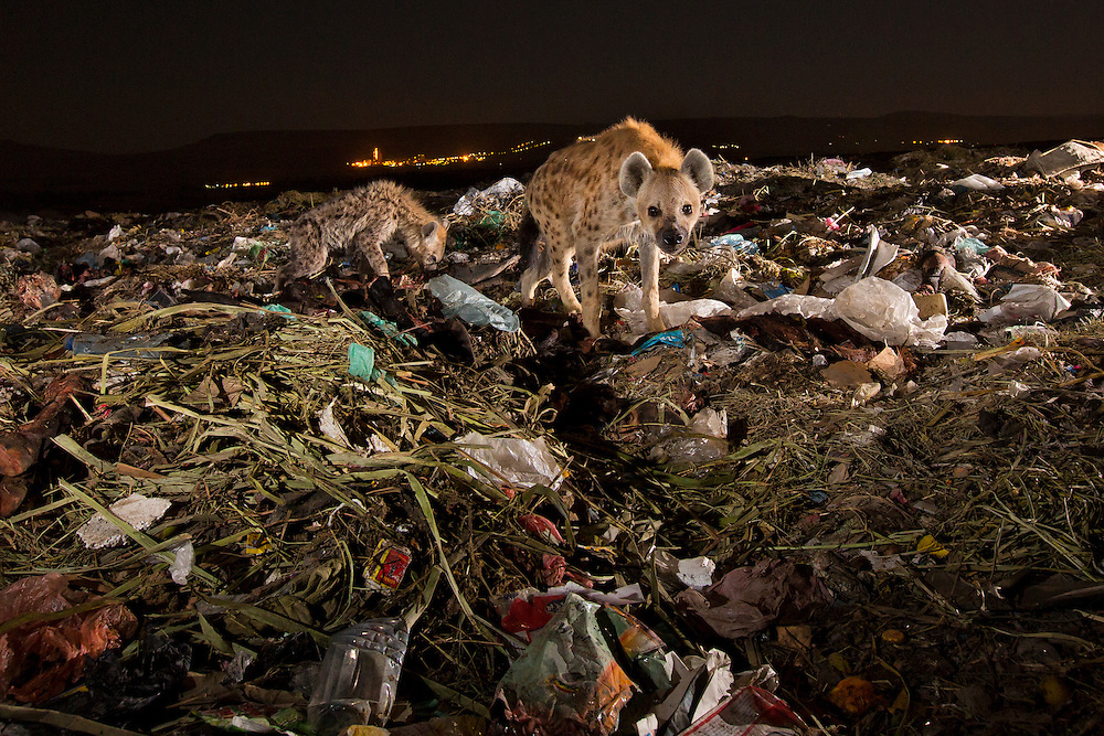 Hyena mother and cub in a garbage dump.  Ethiopia.