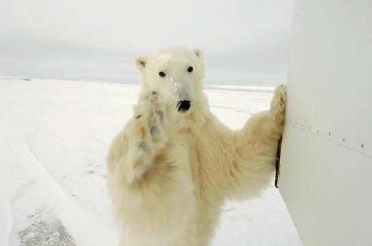 Polar Bear (Ursus maritimus) reaches for the remote camera at Cape Churchill, Churchill, Manitoba, Canada