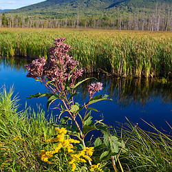 Cherry Mountain as seen from Pondicherry National Wildlife Refuge in New Hampshire;s White Mountains. Joe-pye weed.