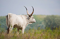 Hungarian Grey cattle (Bos primigenius) , Duna Drava National Park, Mohacs, Hungary