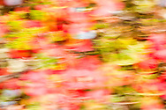 Intentional blur of tundra fall colors including blueberries (Vaccinium uliginosum) in the Maclaren River Valley of Interior Alaska. Morning.