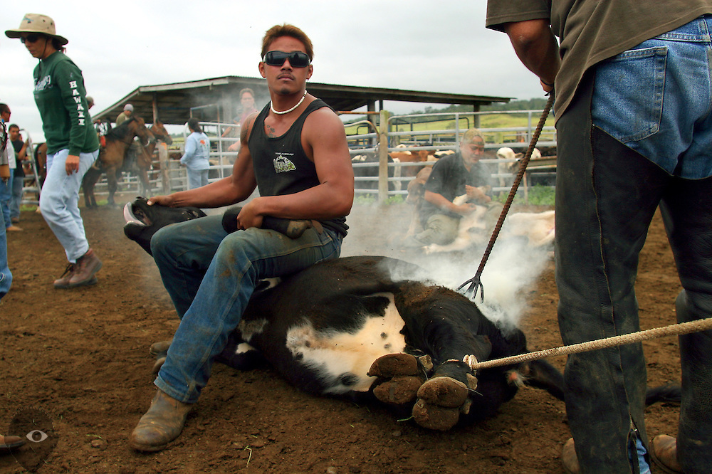 Cowboy Matt Cuison sits cool atop a calf as it's being branded at the Kuahiwi Ranch in the higher country above the town of Naalehu on the southern part of the Big Island, Hawaii.