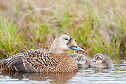 Spectacled Eiders, Somateria fischeri, female with ducklings, Yukon Delta NWR, Alaska
