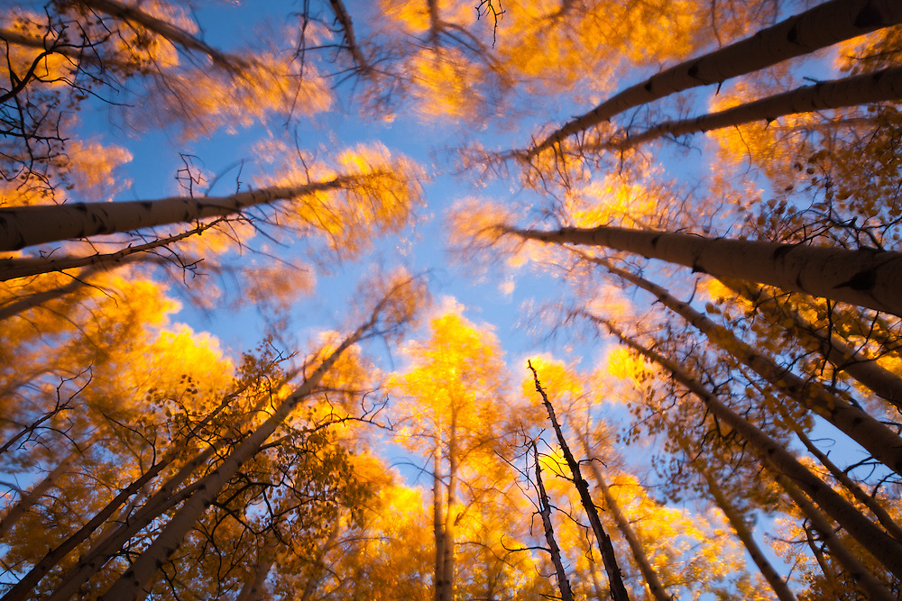 Wind blown aspen trees in fall. Valle Vidal, Carson National Forest in New Mexico.