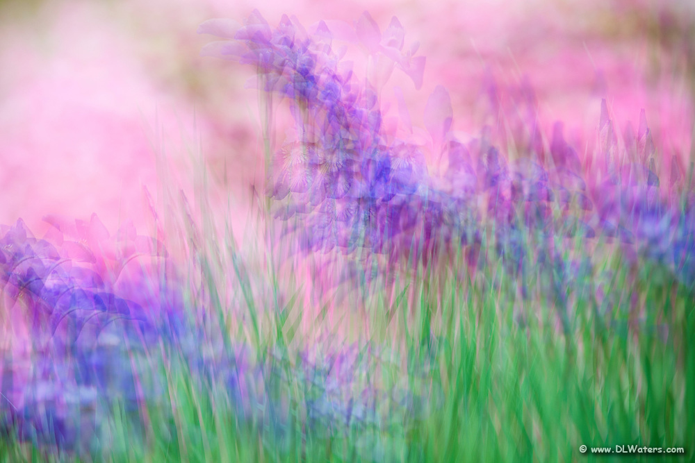 Multiple exposures of purple irises and pink azaleas leaves the viewer with an impression of a flower garden.