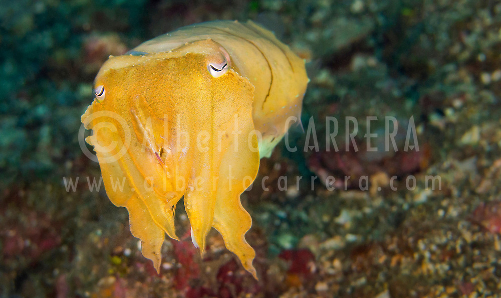 Alberto Carrera, Cuttlefish, Broaoclub Cuttlefish, Sepia latimanus, Lembeh, North Sulawesi, Indonesia, Asia