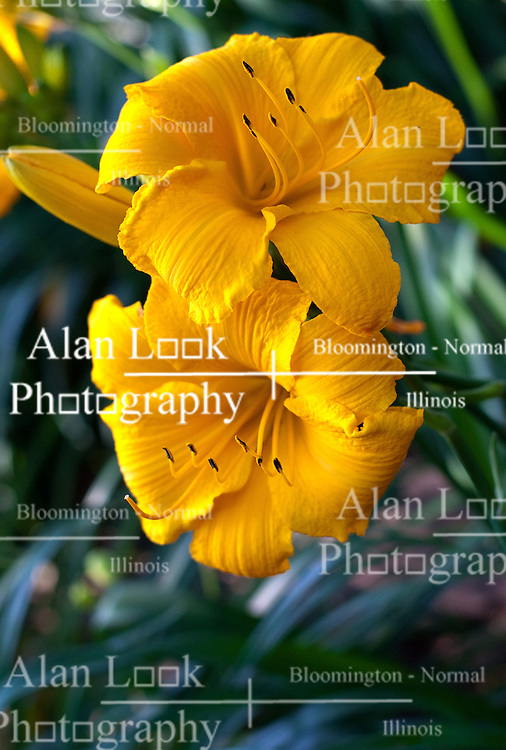 26 June 2010: Flowers blooming in a garden. Large yellow lilies with black pollen pods.