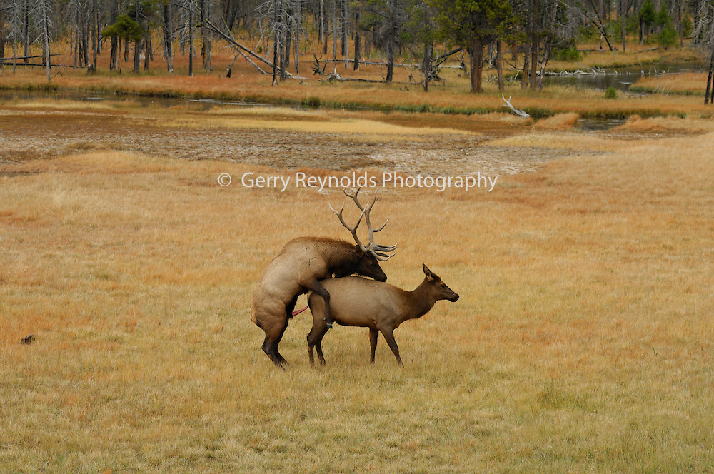 Bull Elk, Bull and Cow Elk, Cow Elk, Elk, rut, rutting, mating, Yellowstone, Yellowstone National Park, Wyoming