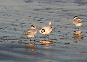 Tufted terns squabbling on Jekyll Island beach.