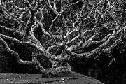 LUNUGANGA.<br /> The main Araliya (Frangipani) Tree.