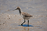 Young American Avocet exploring the muddy sides of a northern Utah marsh.