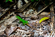 Green Spiny Lizard (Sceloporus malachiticus), also known as the emerald swift. Photographed in Costa Rica