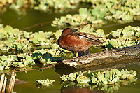 Cinnamon Teal (Anas cyanoptera) perched on a log on Lake Chapala, Jocotopec, Jalisco, Mexico