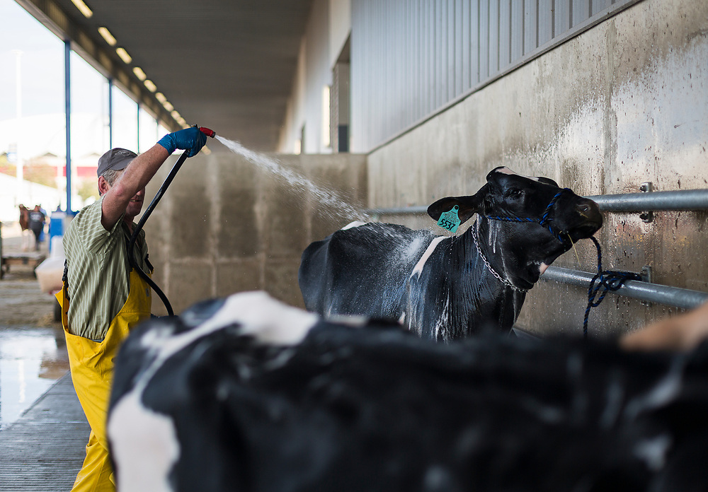 Cows are washed outside the exhibition hall at the World Dairy Expo in Madison, Wisconsin, U.S., October 3, 2018.  REUTERS/Ben Brewer