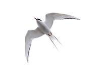 Arctic tern, Rif, Iceland.