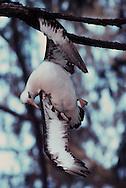 Laysan albatross caught on branch, Phoebastria immutabilis, Hawaiian Leeward Islands