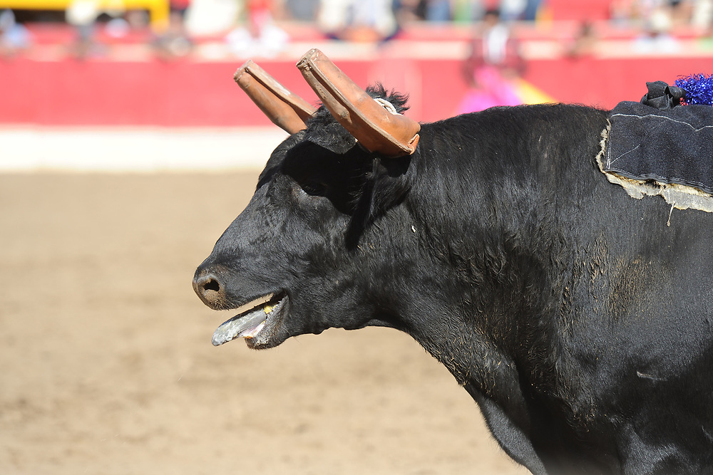 BEA AHBECK/NEWS-SENTINEL<br /> The bull stands in the ring during the bloodless bullfight during the Our Lady of Fatima Portuguese Festival in Thornton Saturday, Oct. 14, 2017.