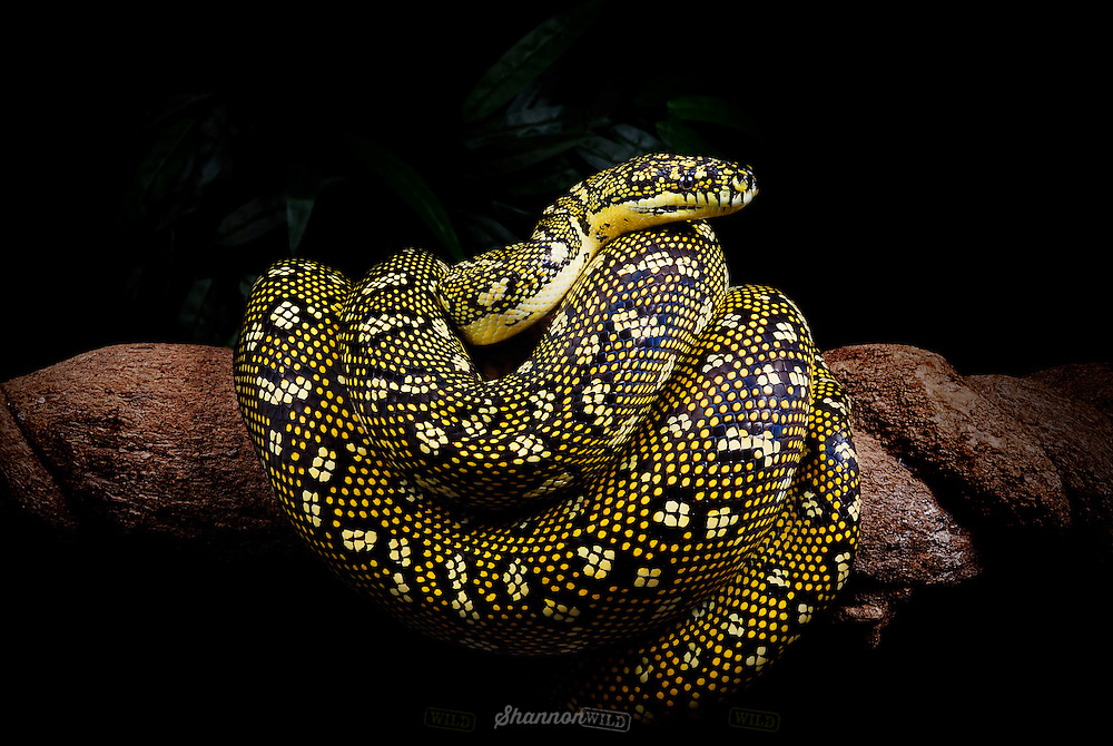 Diamond Python (Morelia spilota spilota) on a branch. Native to coastal areas of New South Wales, Australia.