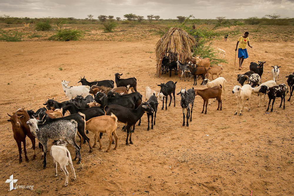 A shepherd guides her goats to shelter adjacent to an LCMS Mercy Medical Team on Tuesday, June 21, 2016, in Nataparkakono, a village in Turkana, Kenya.  LCMS Communications/Erik M. Lunsford