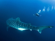 Few animals are as enigmatic as the whale shark. Globally threatened, almost all of the scientific information available on the species pertains to the juvenile males typically found in coastal waters. To see the real giants, such as this pregnant female, intrepid divers must venture to remote seamounts like Darwin Island in the northern Galapagos. Panasonic GX1 camera, Panasonic 8 mm fisheye lens, Nauticam underwater housing. f/3.5, 1/160 sec, ISO 400.