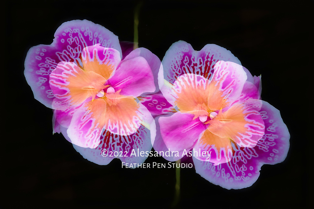 Bright and cheery pansy orchids (Miltonia), dark background. Oil paint effects blended with original photograph. Double exposure montage, violet tones.