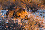 An adult  male desert lion sleeping on the sand with beautiful first sunrise light on his face.<br /> photo credit by:&copy;Claudio Zamagni