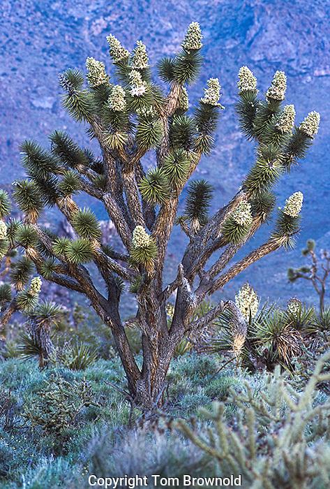 Blooming Joshua trees in the Mojave desert of western Arizona.<br /> Yucca brevifolia