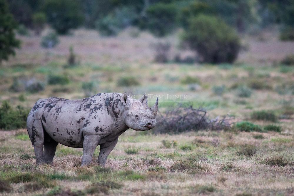 black rhinoceros, Diceros bicornis, Spitzmaulnashorn, rinoceronte negro, rhinocéros noir Black rhinoceros, Diceros bicornis, Spitzmaulnashorn, rinoceronte negro, Rhinocéros noir, 黑犀, وحيد القرن الأسود
