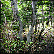 Trees wrapped to prevent deer from chipping away bark for the soft membrane inside, which they eat in winter, possibly killing the the tree, Shiretoko National Park, an UNESCO World Heritage Site, Hokkaido, Japan.  The numbers of Ezo Shika deer have swelled to the point that they are beginning to damage the environment.