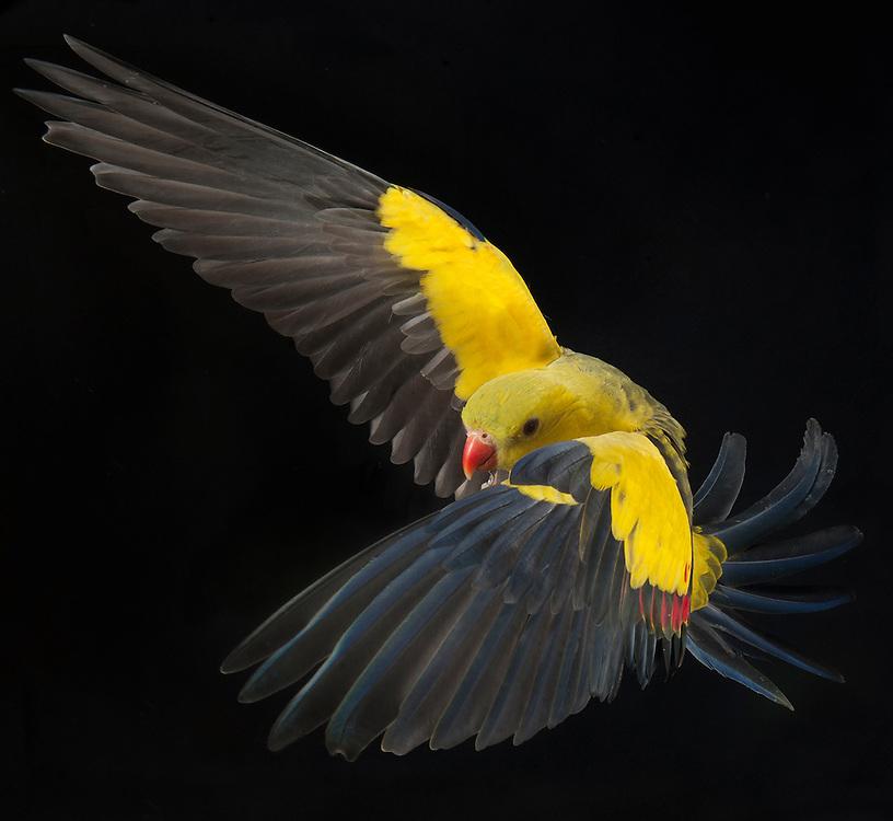 Regent Parrot, (Polytelis anthopeplus), captive, credit: Pandemonium Aviaries/M.D.Kern