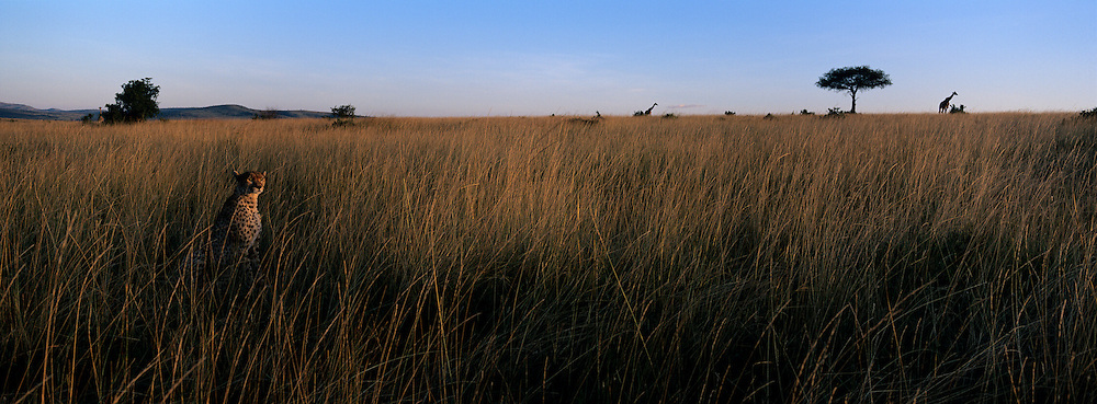 Africa, Kenya, Masai Mara Game Reserve, Cheetah (Acinonyx jubatas) sits in tall savanna grass near giraffe on hillside at sunset