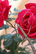 Rose Climber