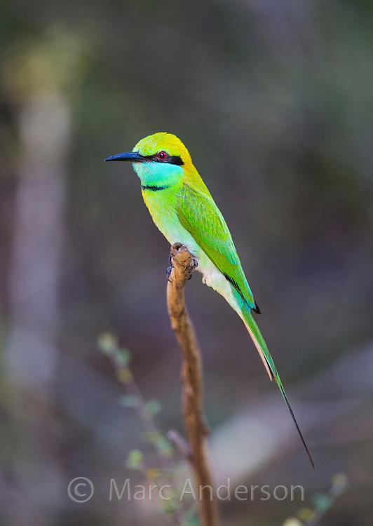 Green Bee-eater (Merops orientalis), Yala National Park, Sri Lanka