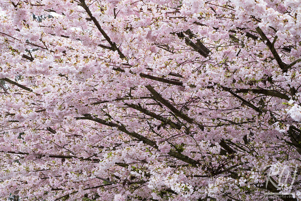 Stanley Park Cherry Tree Blossoms, Vancouver, B.C., Canada