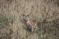 Serval Cat in the Ngorongoro Crater, Tanzania