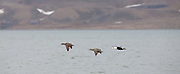 King Eider ducks in flight, Svalbard