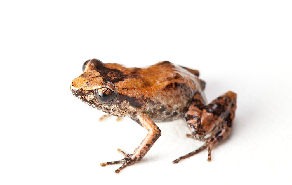 Eleutherodactylus eunaster, La Hotte whistling frog, a Critically Endangered species on the Massif de la Hotte, Haiti