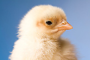 Portrait of a recently hatched banty chicken.