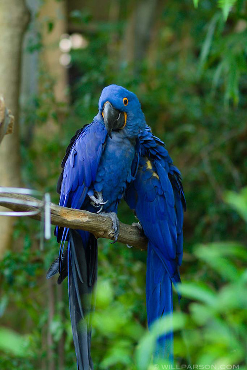 Macaws at the San Diego Zoo