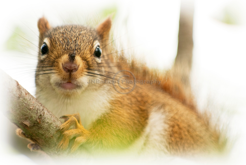 An extreme close-up of an American Red Squirrel in a tree-top.