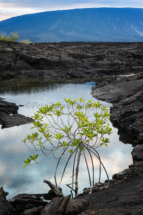 Red Mangrove (Rhizophora mangle)<br /> Fernandina Island<br /> GALAPAGOS ISLANDS,<br /> Ecuador, South America