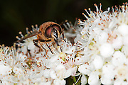 Front view of the drone fly (Eristalis tenax), colecting nectar, with proboscis in view. The drone fly is a hoverfly, which is a mimic of the honey bee.