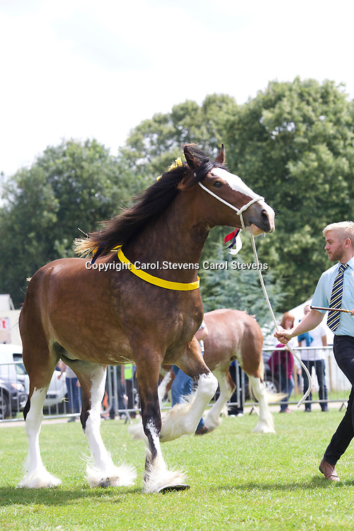 Paul Bedford's ROSEMOORE SAPPHIRE<br /> 1st 2 year old Class