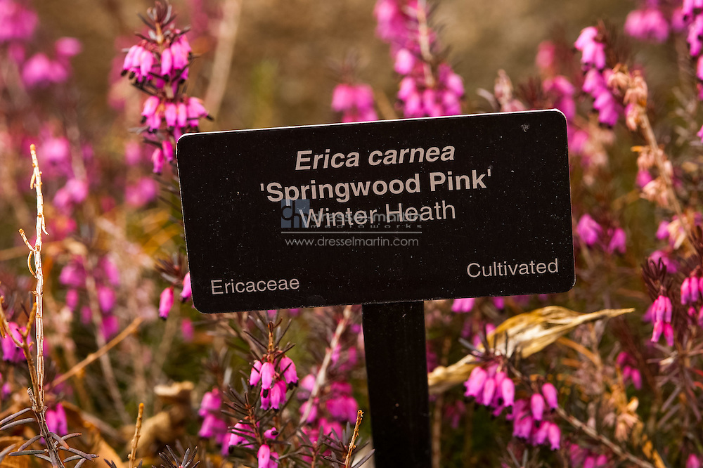 Denver Botanic Gardens, Erica carnea 'Springwood Pink' Winter Heath