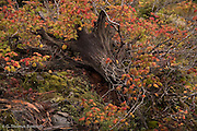 Vine maples have turned color and give a nice contrast to an old stump.