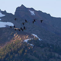 A flock of geese fly north over the Cascade Mountains.