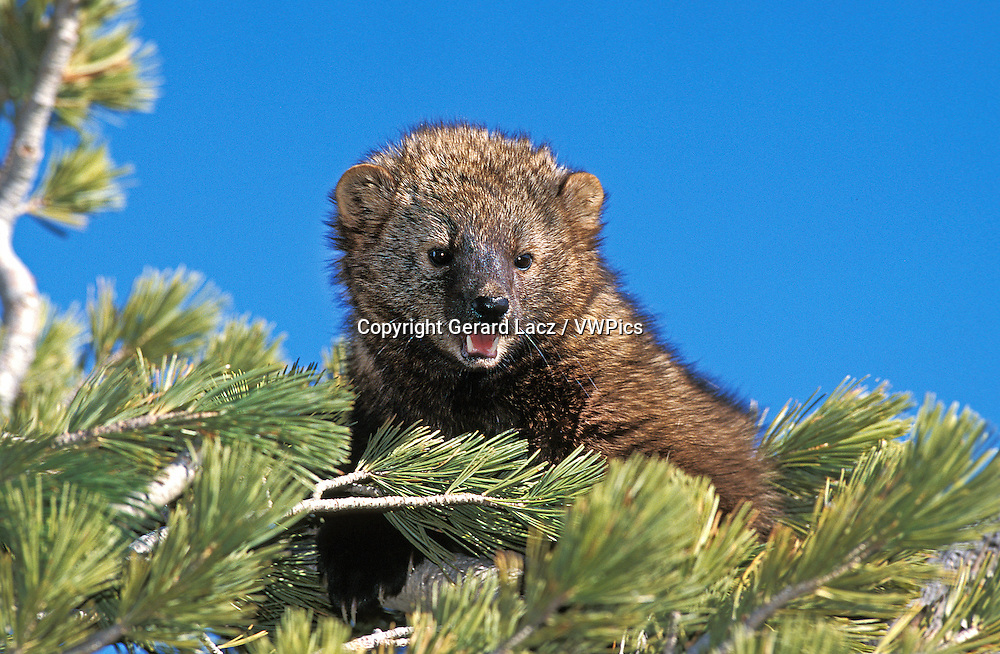 Fisher, martes pennanti, Adult standing in Pine Tree, Canada