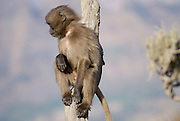 Africa, Ethiopia, Simien mountains, Juvenile Gelada monkey Theropithecus gelada